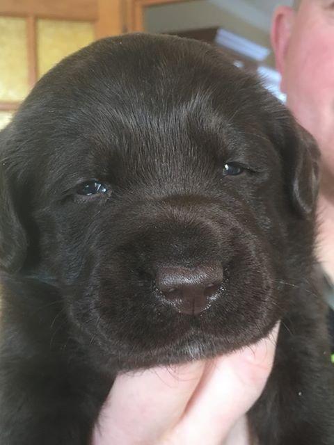 Du Clos des Trois Cerisiers - Chiot disponible  - Labrador Retriever