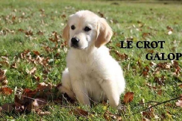 Accueil - Elevage Du crot galop - eleveur de chiens Golden
