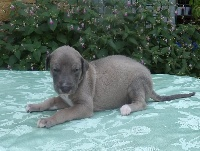 Des dames du lac - Chiot disponible  - Greyhound
