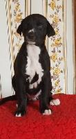 Des dames du lac - Chiot disponible  - Greyhound