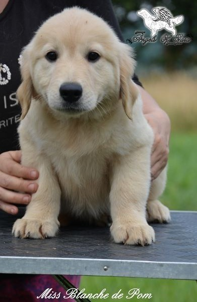 Blanche - Golden Retriever