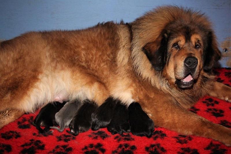chiots de la race dogue du tibet disponibles sur chiots de france. Black Bedroom Furniture Sets. Home Design Ideas