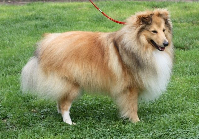 chien elevage de la maison des carmes eleveur de chiens shetland sheepdog. Black Bedroom Furniture Sets. Home Design Ideas