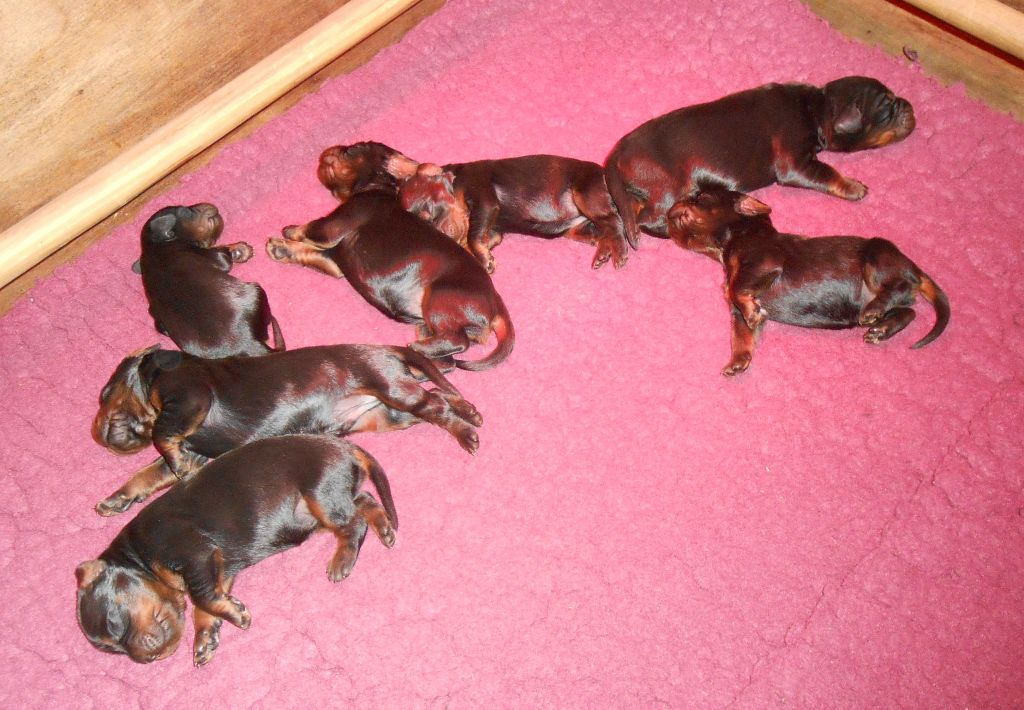 de Korrigan Forest - Chiots Setter Gordon disponibles !