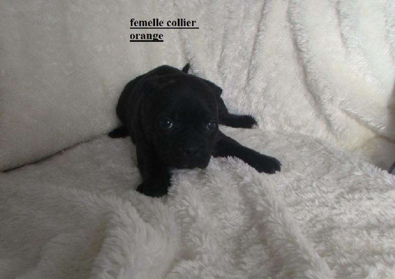 Mona - Staffordshire Bull Terrier