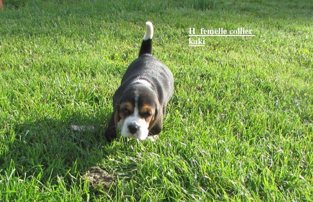 Chiot Beagle, NOUBA collier kaki, femelle disponible en