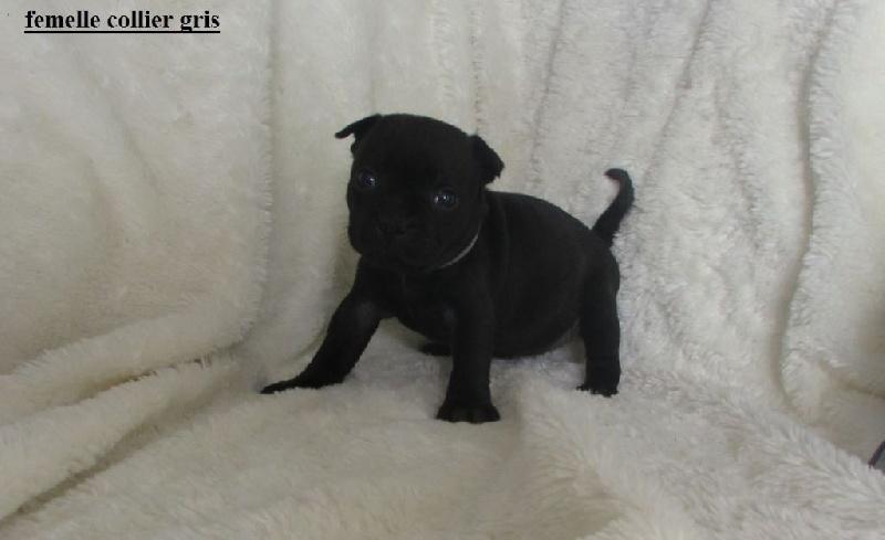Miel - Staffordshire Bull Terrier