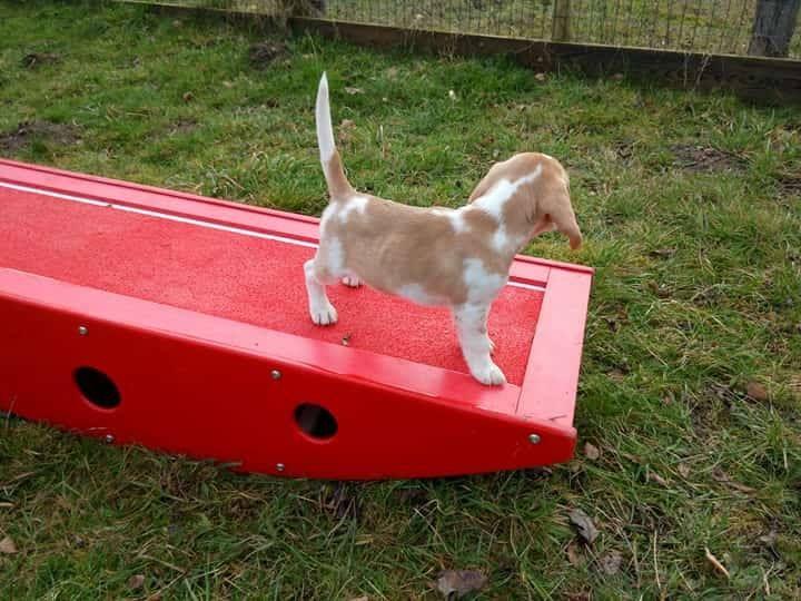 Du domaine de la villatelle - Chiot disponible  - Beagle