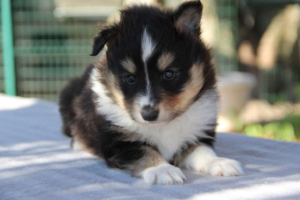 Mâle Tricolore - Shetland Sheepdog