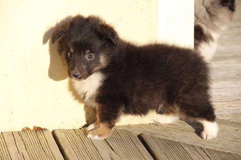 chiot shetland sheepdog muesli m le disponible en nouvelle aquitaine 79 sevres deux toutes. Black Bedroom Furniture Sets. Home Design Ideas