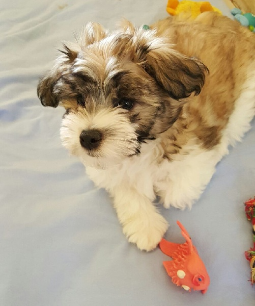 Chiot - Elevage Del Pech Tolosan - eleveur de chiens Petit