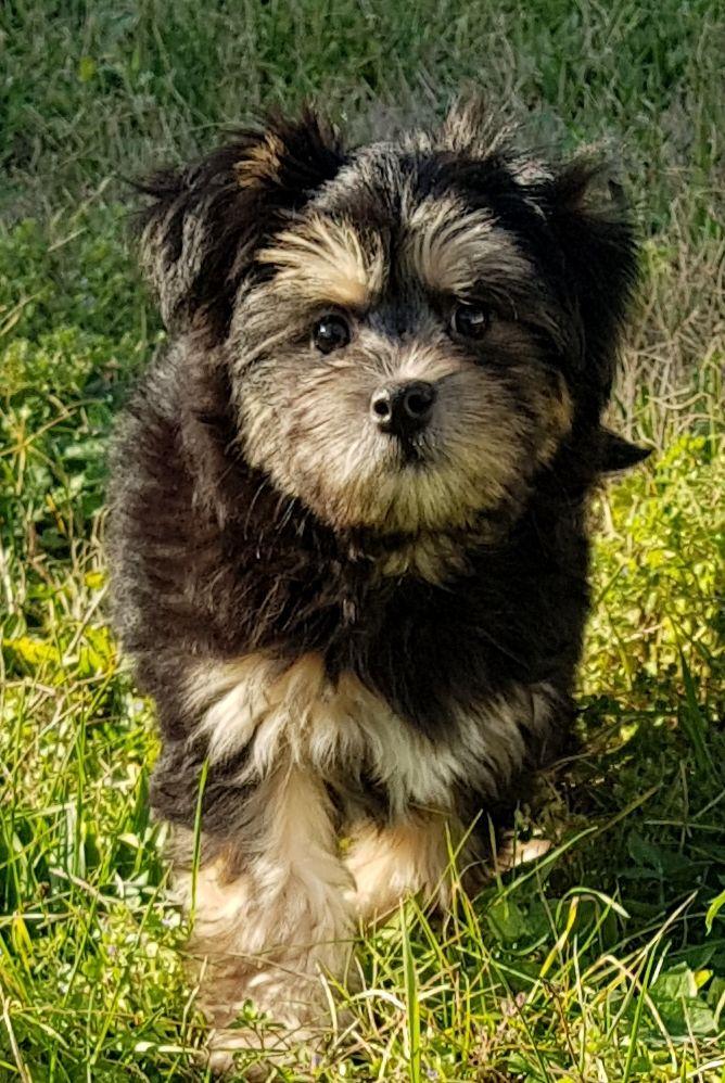 Del Pech Tolosan - Chiot disponible  - Petit chien lion