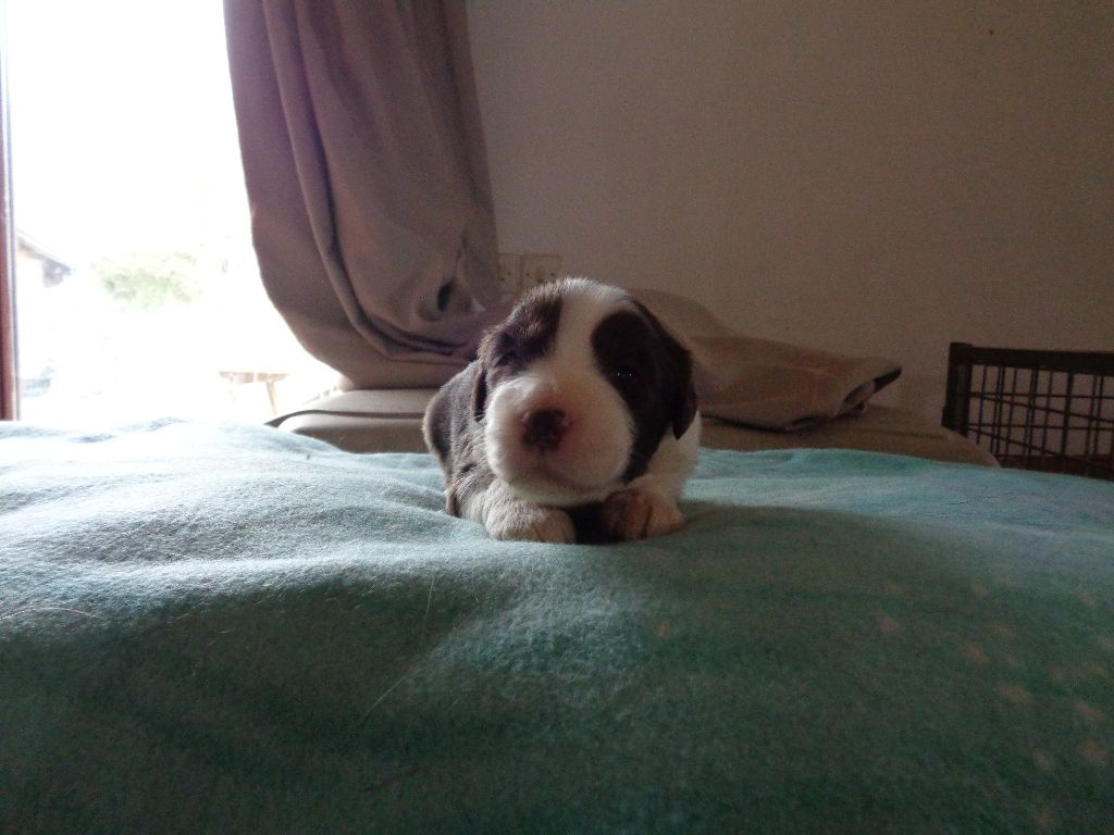 a dream of Bear'd - Chiot disponible  - Bearded Collie