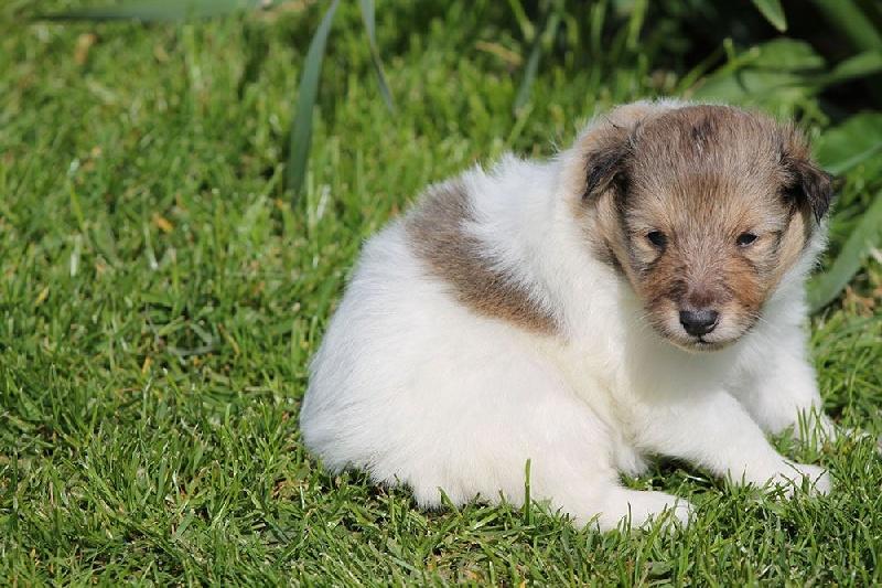 de la vallée du mainland - Chiot disponible  - Shetland Sheepdog