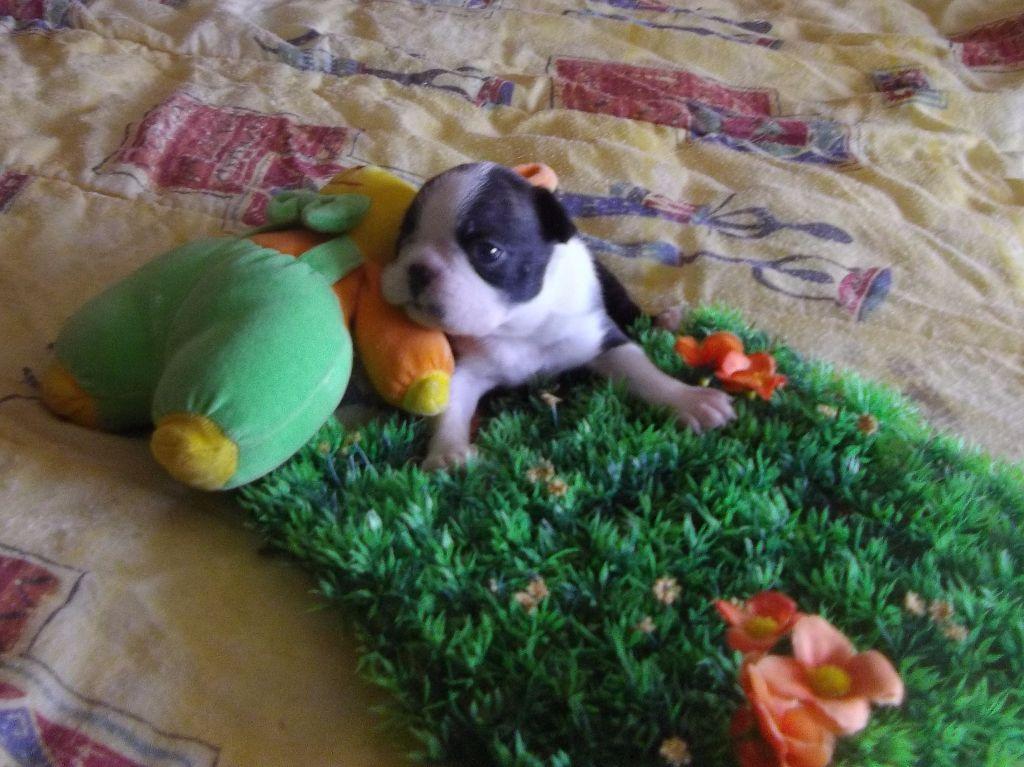 Nitro - Boston Terrier