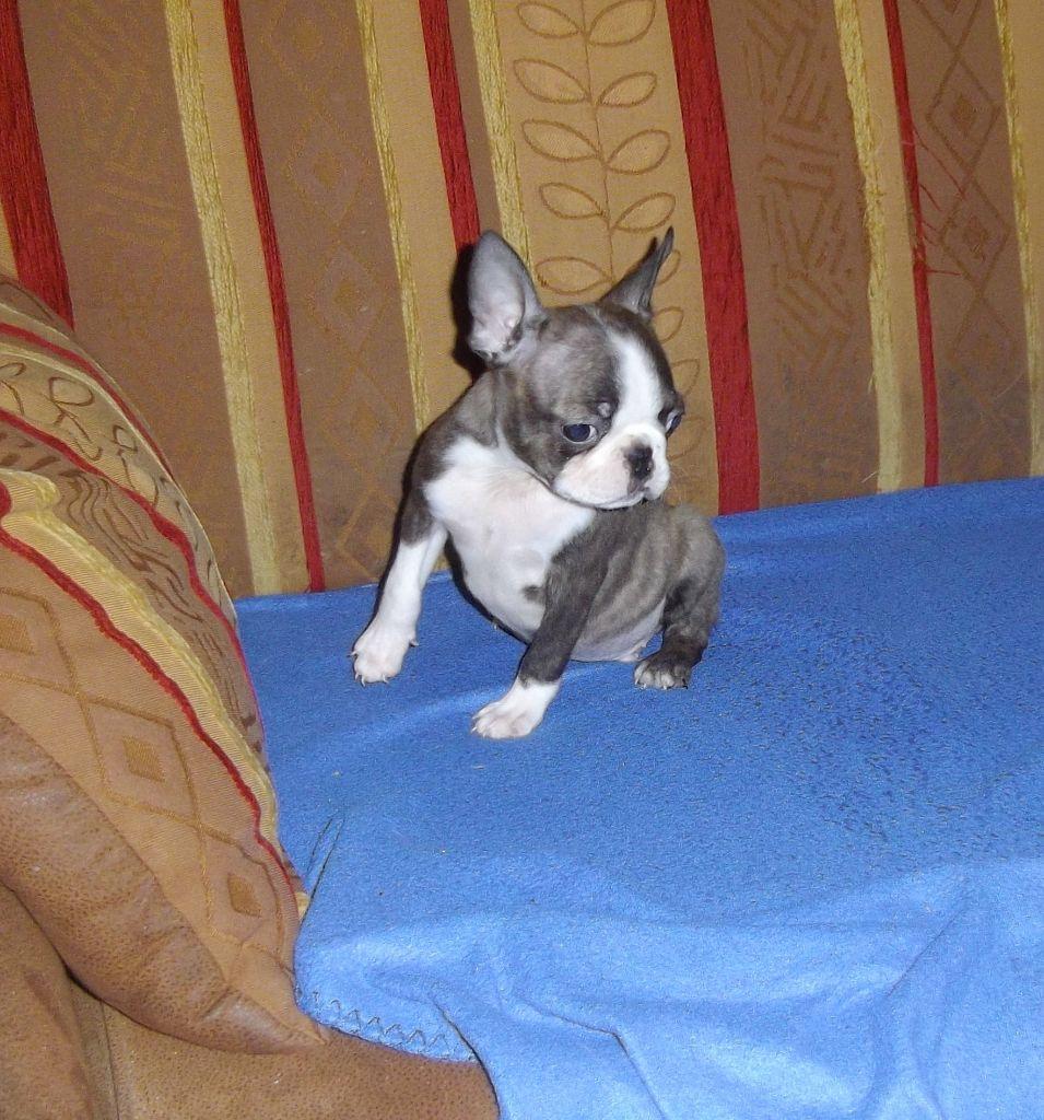 de Cat'Pat - Chiot disponible  - Boston Terrier