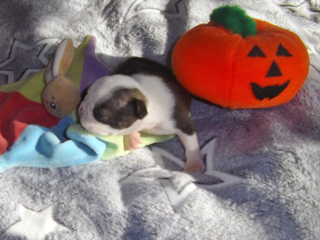 de Cat'Pat - Chiot disponible  - Boston Terrier