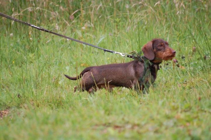 Chien - Elevage Kobeddus - eleveur de chiens Teckel poil dur