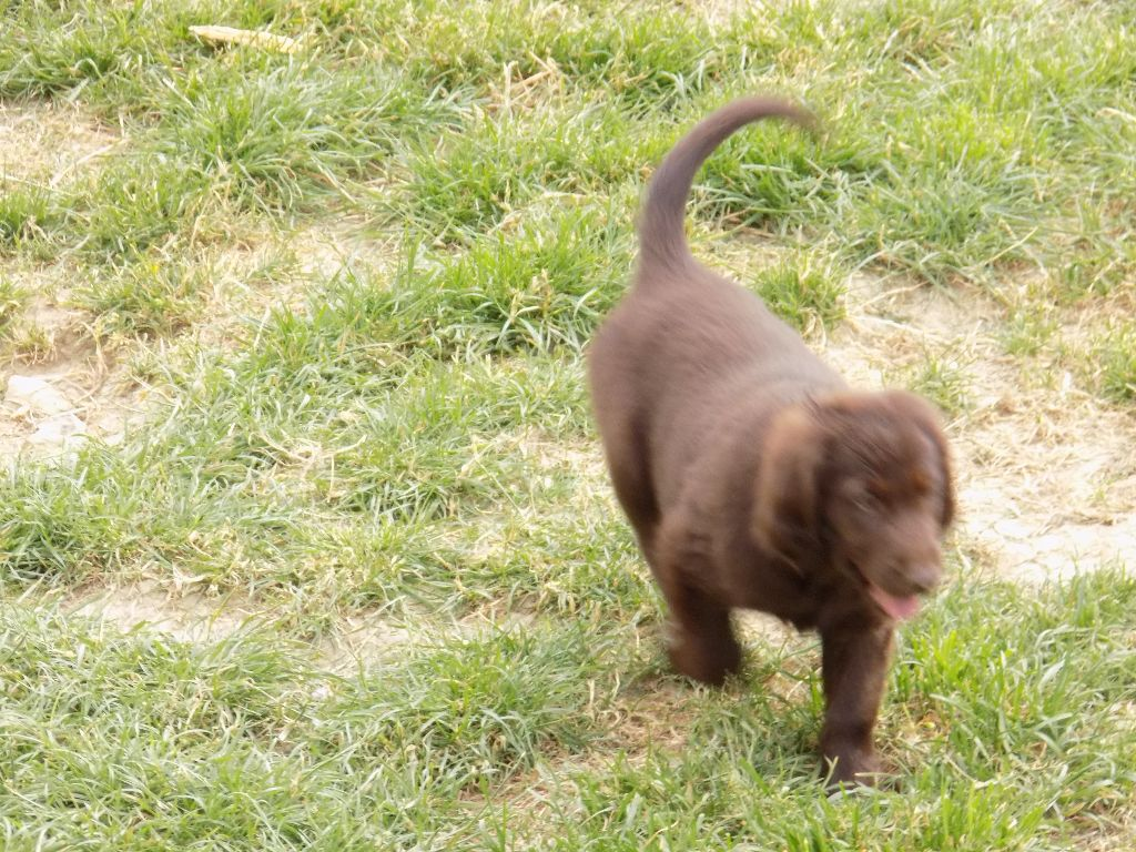 Du marais de la sangsurière - Chiot disponible  - Flat Coated Retriever