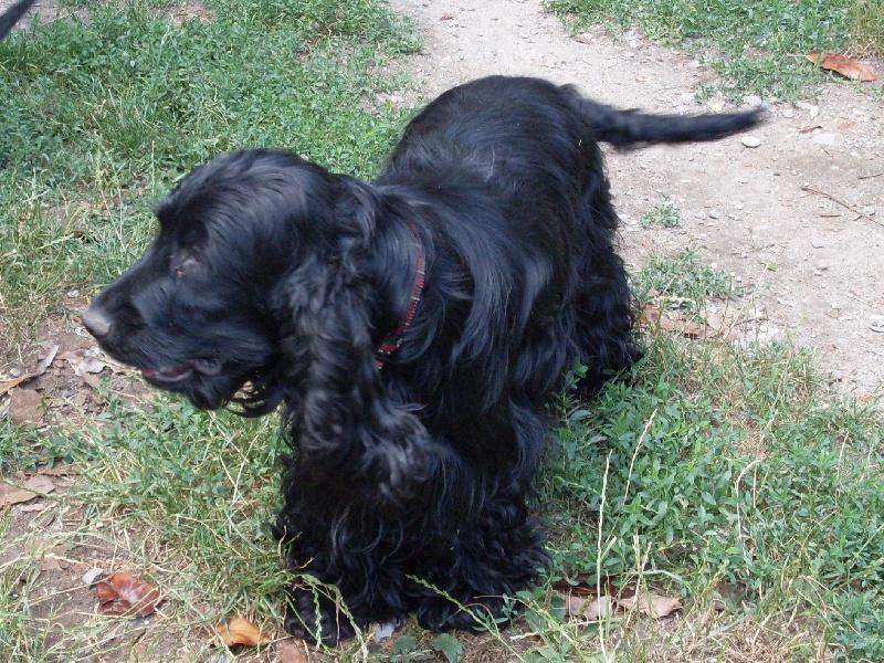 des lys noirs des brumes d u0026 39 aurore chien de race toutes races en tous departements france inscrit