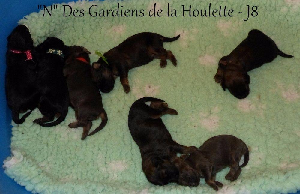 Des Gardiens de la Houlette - Berger de la Serra de Aires - Portée née le 05/03/2017