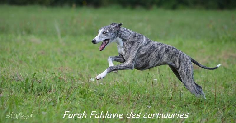 CH. Farah fahlavie des Carmauries