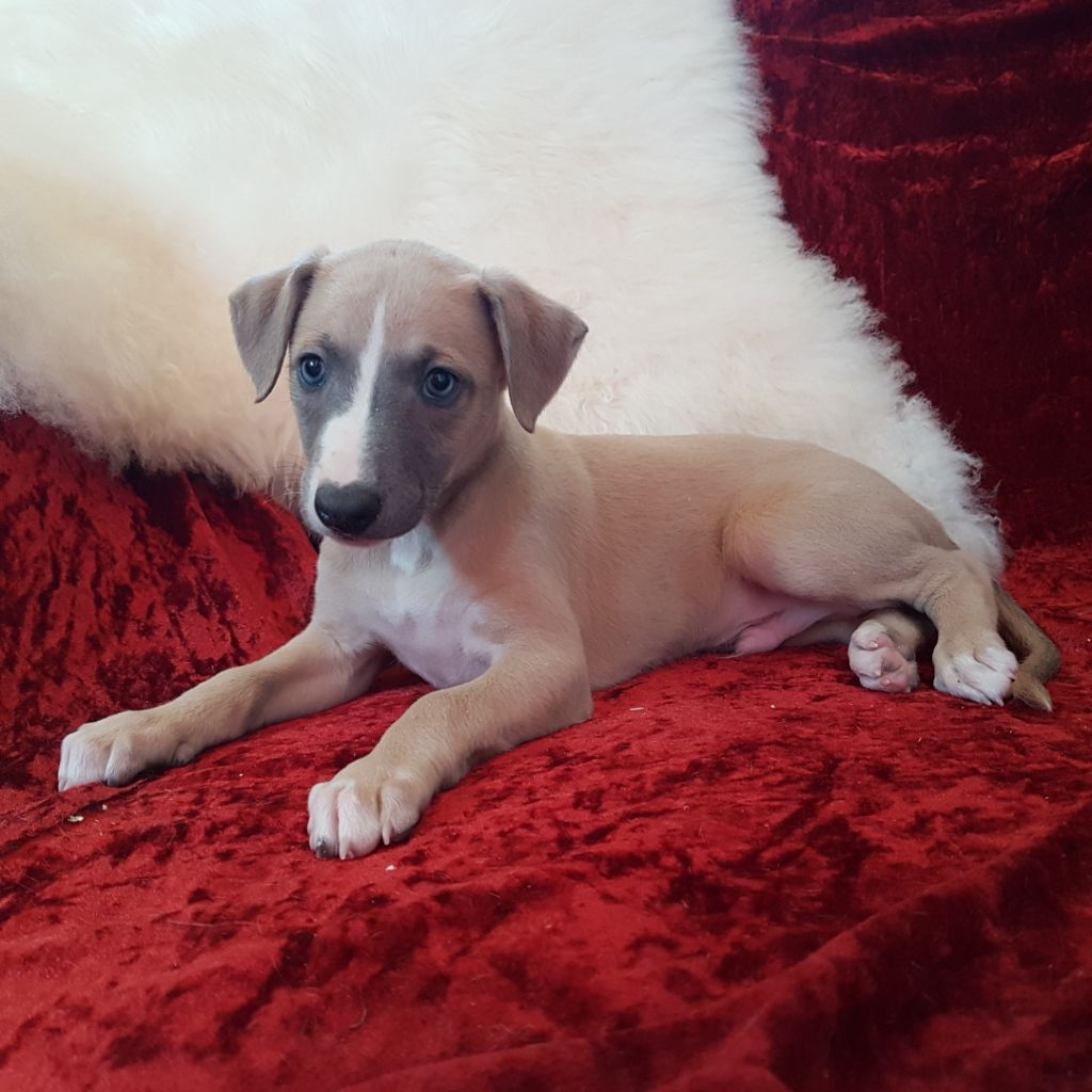 des Carmauries - Chiot disponible  - Whippet