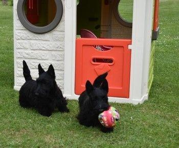 chiot scottish terrier max m le disponible en hauts de france 62 pas de calais toutes les. Black Bedroom Furniture Sets. Home Design Ideas