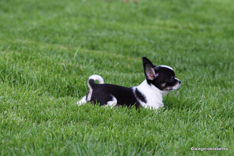 Oscar de la Légende des Elfes - Chihuahua