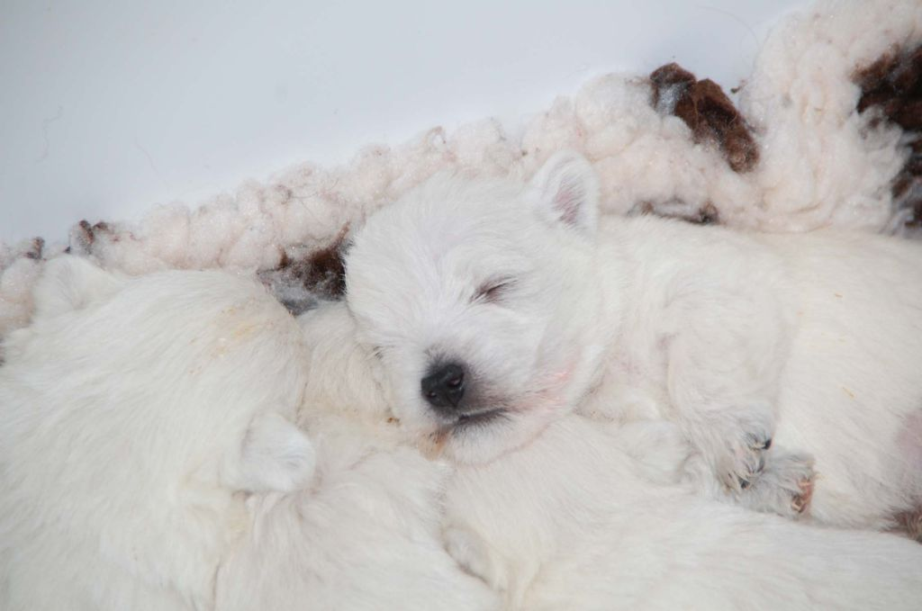 du vallon des Aures - Chiot disponible  - West Highland White Terrier