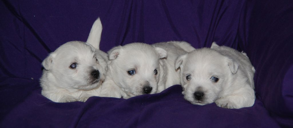 chiot West Highland White Terrier du vallon des Aures