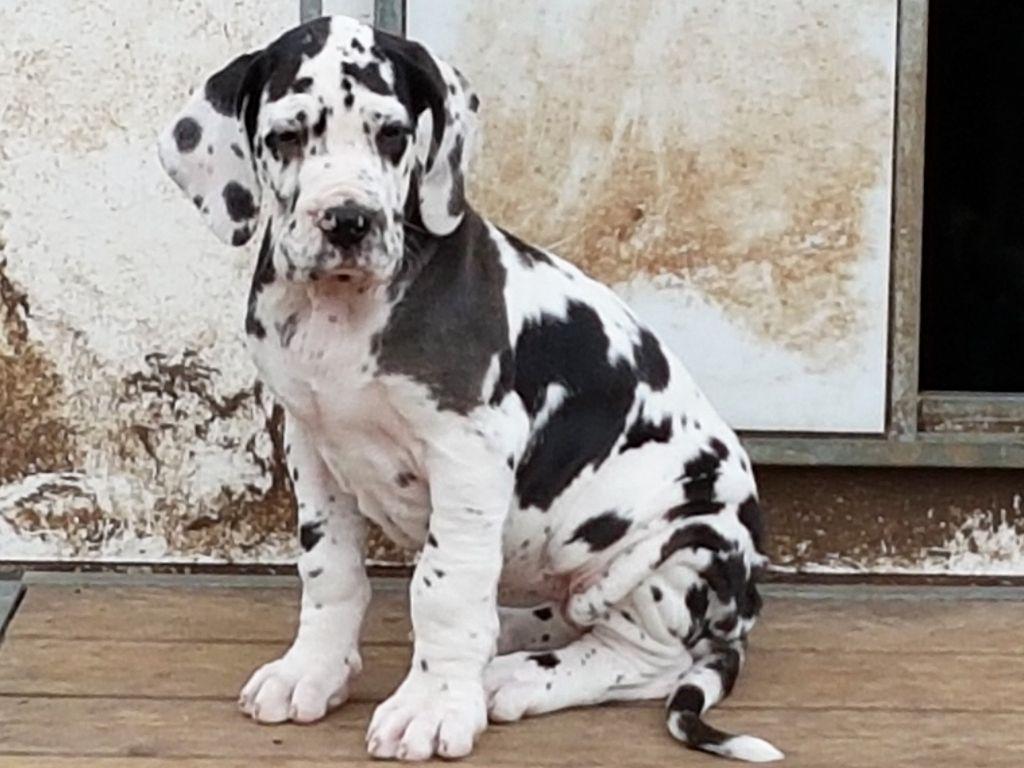 des saphirs d'atlantis - Chiot disponible  - Dogue allemand