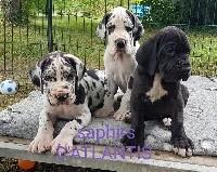 Dogue allemand - des saphirs d'atlantis