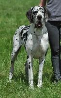 Hommage d'esperanca des saphirs d'atlantis - speciale dogue allemand