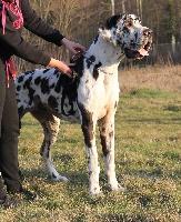Irresistible des saphirs d'atlantis - speciale dogue allemand