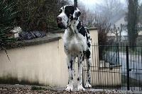 CH. Hartur des saphirs d'atlantis - speciale dogue allemand