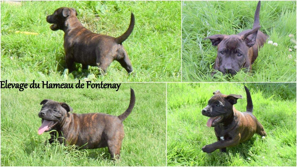 picka - Staffordshire Bull Terrier