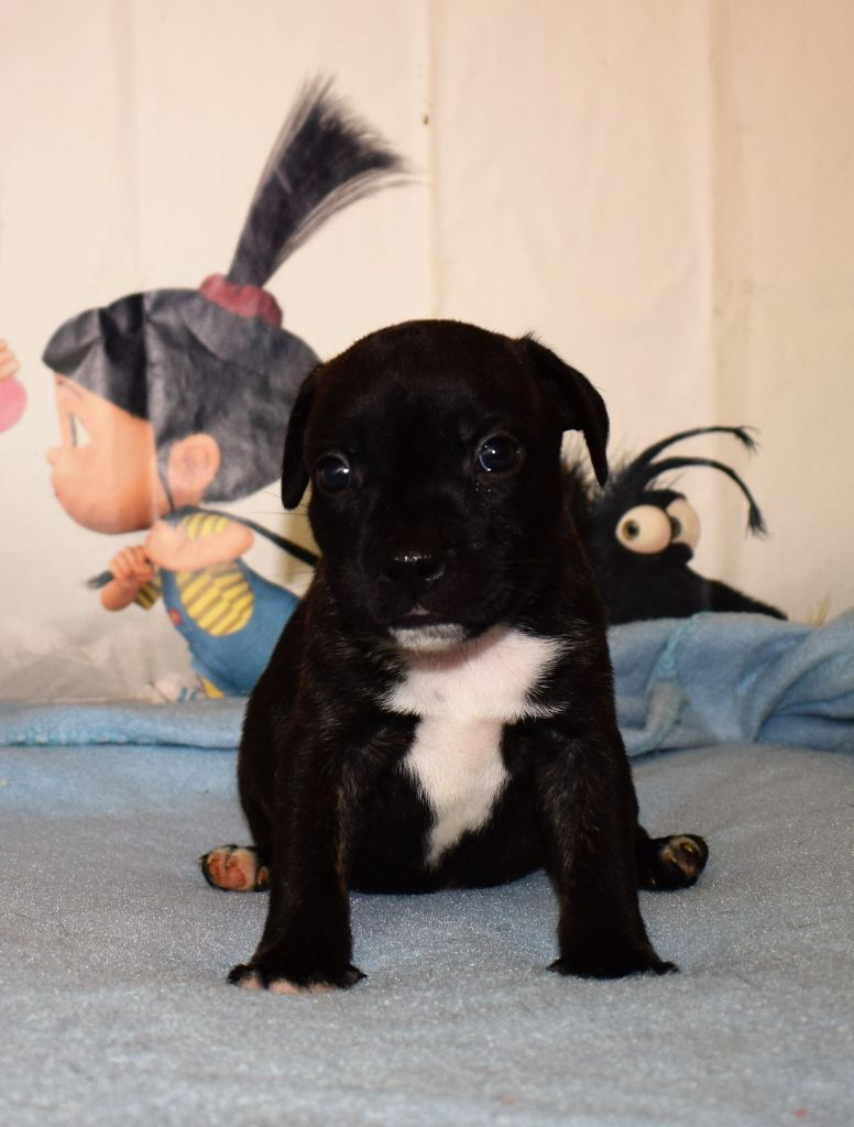 ozy - Staffordshire Bull Terrier