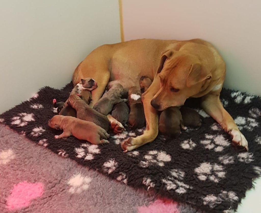 du hameau de fontenay - Chiot disponible  - American Staffordshire Terrier