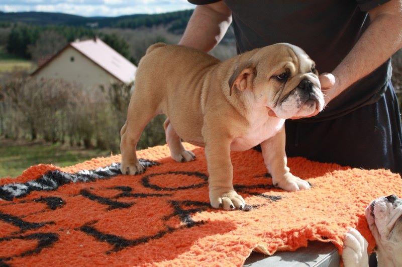 des Carco's Bulls - Chiot disponible  - Bulldog Anglais