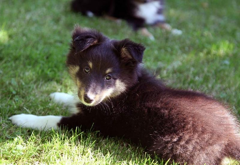 Du puits saint loup - Chiot disponible  - Shetland Sheepdog
