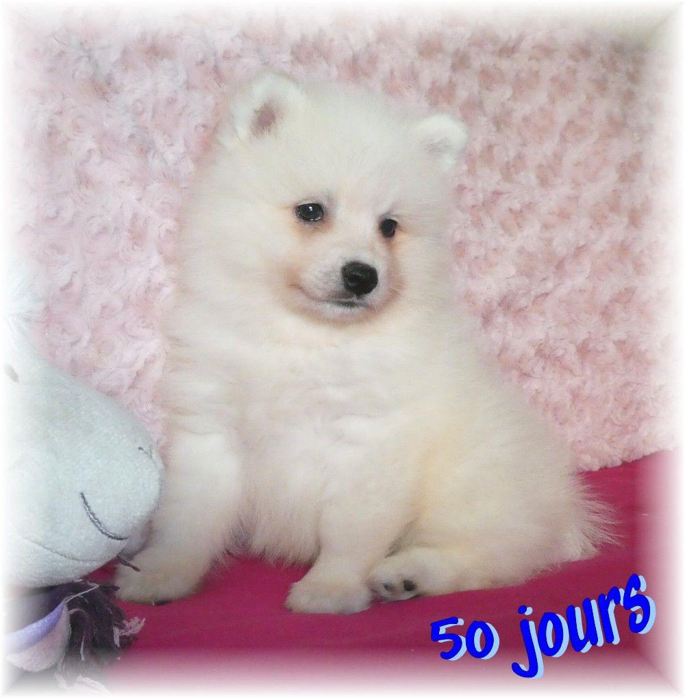 des joyeux dahus - Chiot disponible  - Spitz japonais