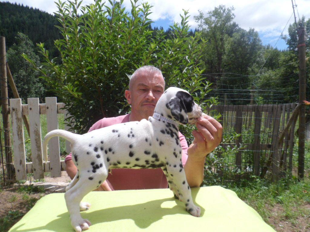 des dalmats de la pierre sacrée - Chiot disponible  - Dalmatien