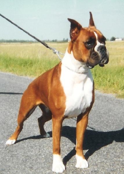 R 39 wendy des jardins de passiflore chien de race toutes for Boxer jardin de passiflore