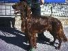 - un cour saint florent vainqueur de la Nationale d'élevage suisse