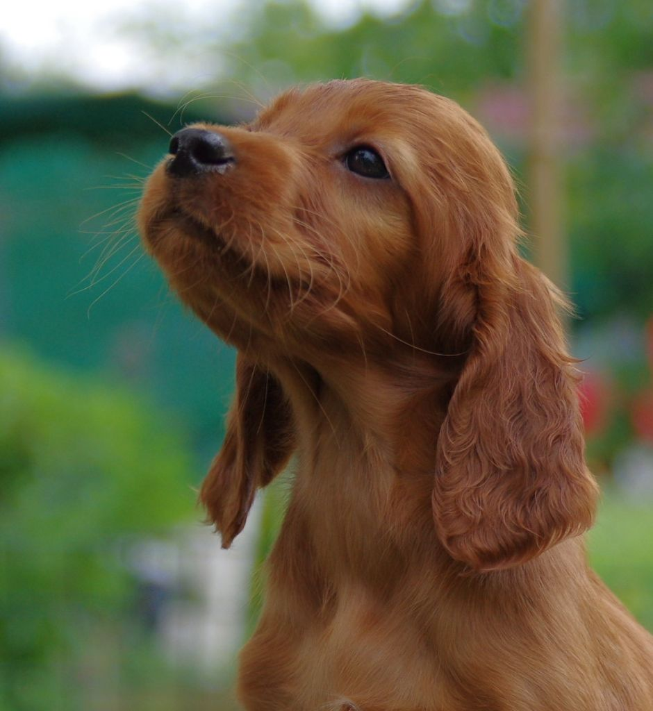 De la cour saint florent - Chiot disponible  - Setter irlandais rouge