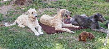 Accueil elevage du miroir du ris d eleveur de chiens for Le miroir du desir