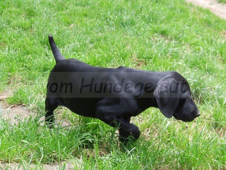 Vom hundegelaut - Chiot disponible  - Braque allemand à poil court