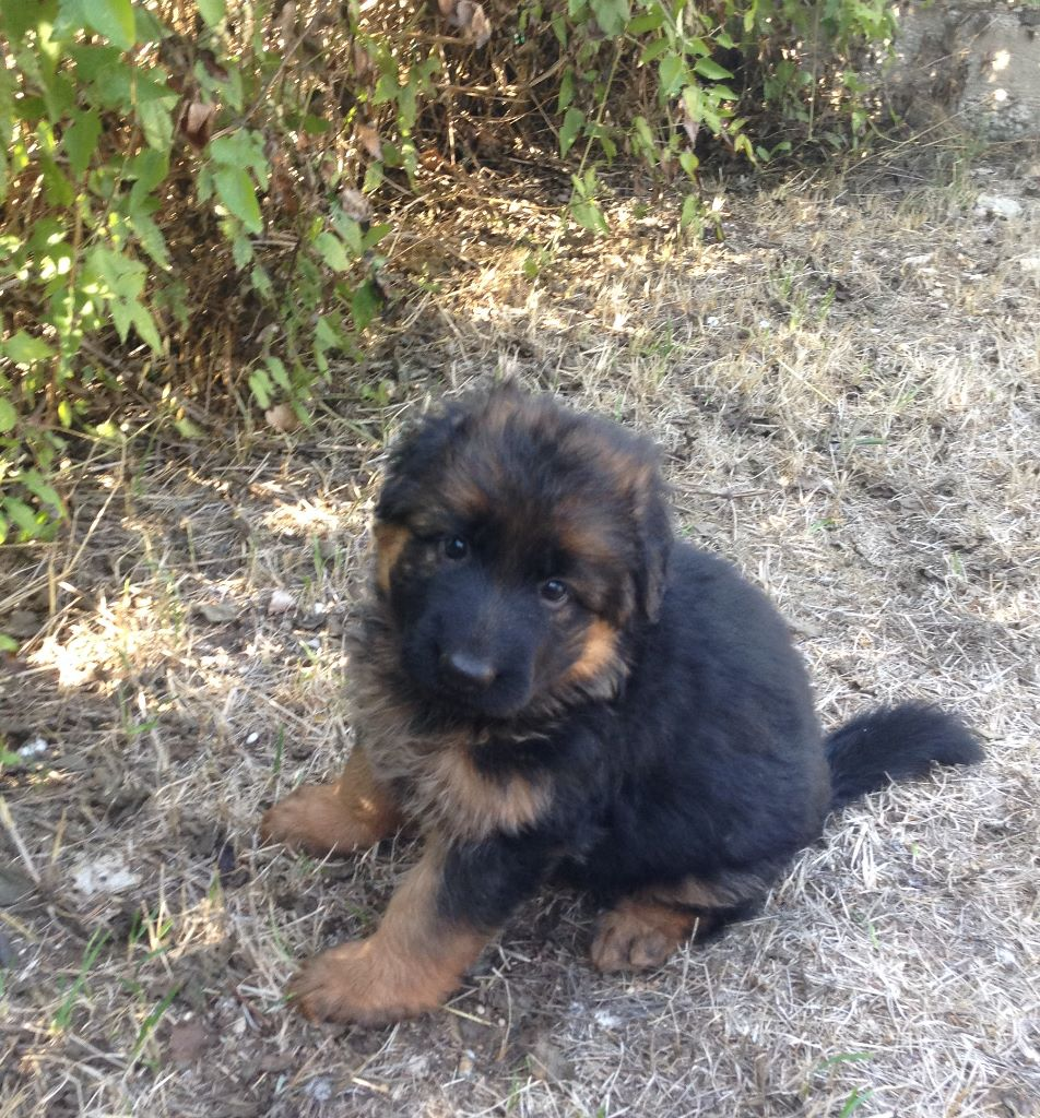 CHIOT - Berger Allemand Poil Long