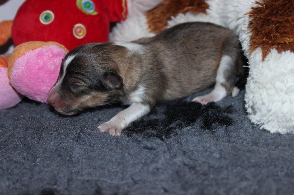 des Hauts Vikings Normands - Chiot disponible  - Shetland Sheepdog
